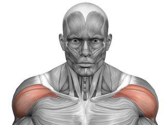 deltoides anterior