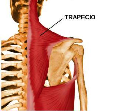 deltoides y trapecio