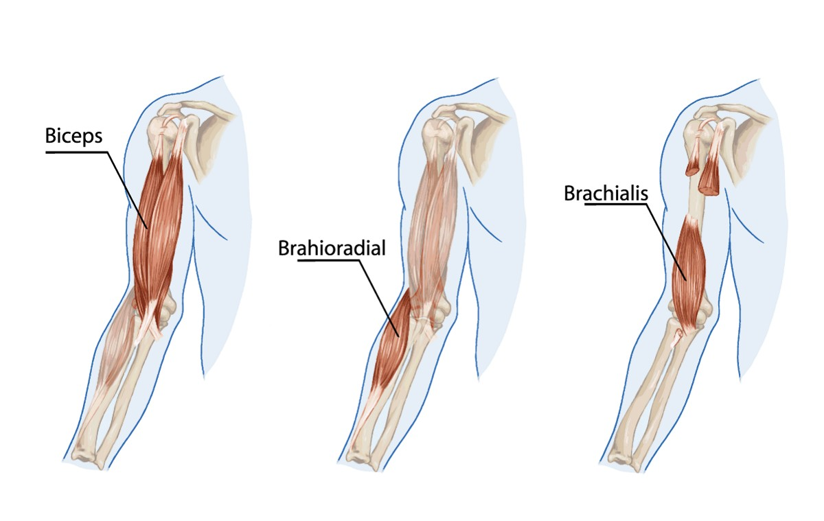 brachialis